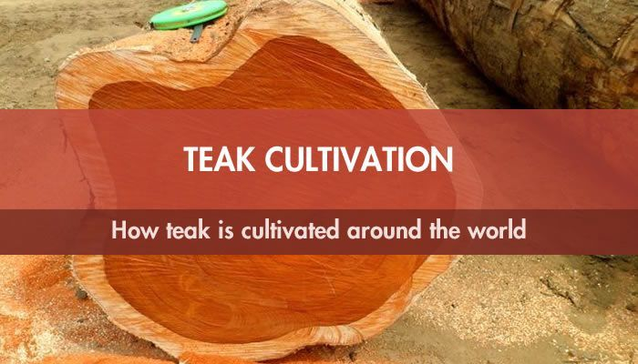 Teak Cultivation: How teak is cultivated around the world
